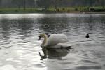Cigni e papere sul Serpentine Lake