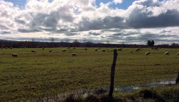 pascoli di pecore