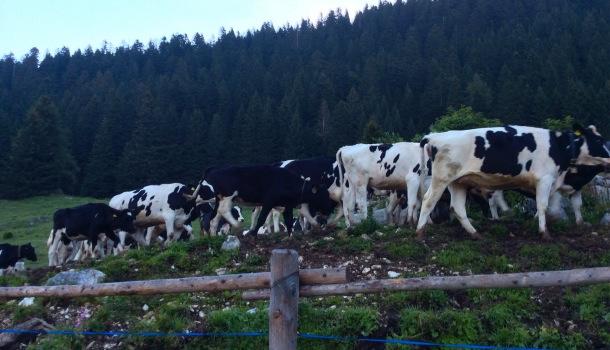 mucche della malga vallorsara