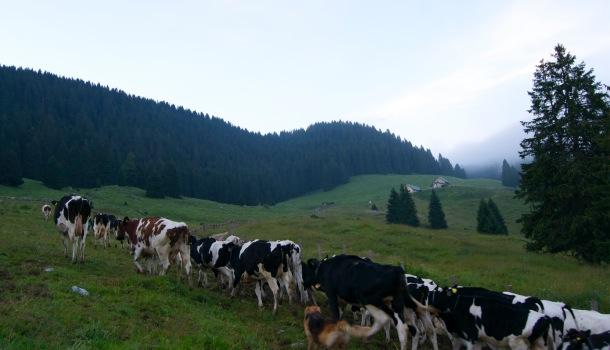 mucche in marcia verso la malga