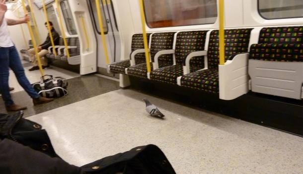 piccione in metropolitana