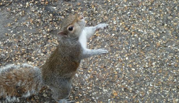 scoiattoli ad hyde park