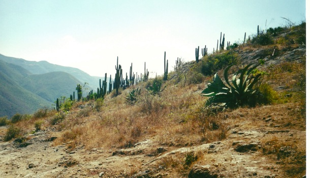 cactus a hierve el agua