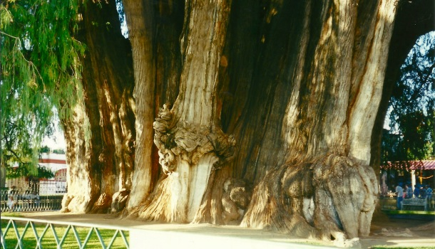 el thule tronco