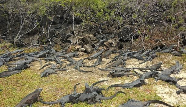Iguane alle Galapagos - Foto Vittorio Russo